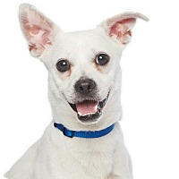 Jack Russell Terrier/Chihuahua Mix Dog for adoption in Los Angeles, California - Cash