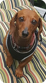 Dachshund Dog for adoption in Decatur, Georgia - Cece