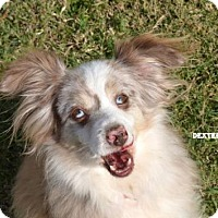 Australian Shepherd Dog for adoption in Independence, Missouri - Dexter Lee