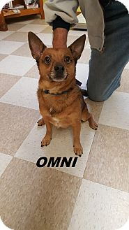 Pomeranian/Jack Russell Terrier Mix Dog for adoption in Kingman, Kansas - Omni