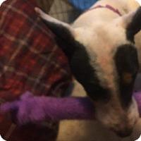 Bull Terrier Mix Dog for adoption in Wyoming, Michigan - Momma Mackenzie