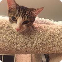 Calico Kitten for adoption in Glendale, Arizona - Chandie