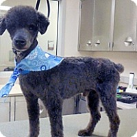 Poodle (Miniature) Mix Dog for adoption in Wildomar, California - Arlo