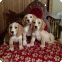 Adopt A Pet :: HUEY, LUEY, DUEY - WOODSFIELD, OH
