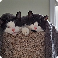 Domestic Shorthair Cat for adoption in Royal Oak, Michigan - COURTESY POST - TINKER&TAILOR