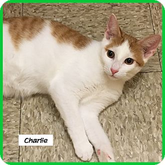 Domestic Shorthair Cat for adoption in Miami, Florida - Charlie