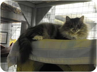 Domestic Mediumhair Cat for adoption in Mission, British Columbia - Ivy
