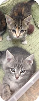 Domestic Mediumhair Kitten for adoption in Aiken, South Carolina - Holden (in front)