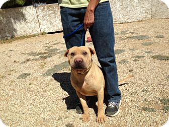 Shar Pei Dog for adoption in Mira Loma, California - Barney