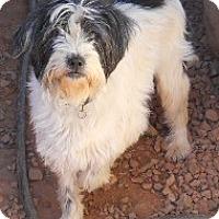 Adopt A Pet :: Terri - dewey, AZ