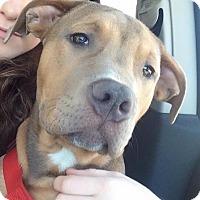 Adopt A Pet :: Bert - Vernon Hills, IL