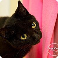 Domestic Shorthair Cat for adoption in tama, Iowa - Stewart