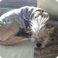 Adopt A Pet :: SCRAPPY DOO - Chandler, AZ