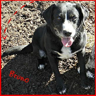 Labrador Retriever Mix Dog for adoption in Lawrenceburg, Tennessee - Bruno