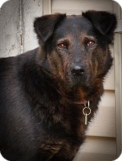 Shepherd (Unknown Type) Mix Dog for adoption in Kansas City, Missouri - Velma