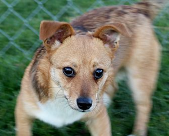 Corgi/Chihuahua Mix Dog for adoption in Liberty Center, Ohio - Smooch