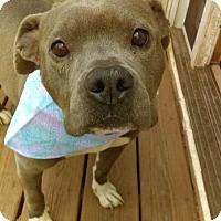 Adopt A Pet :: Sadie - Blue Pocket Pittie - Staten Island, NY