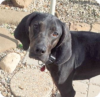 Black and Tan Coonhound/Plott Hound Mix Dog for adoption in Pardeeville, Wisconsin - Lilah