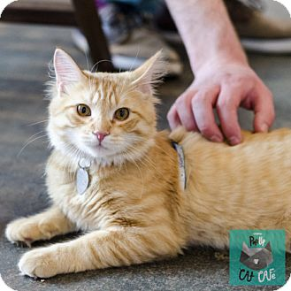 Domestic Mediumhair Cat for adoption in Edmonton, Alberta - Spencer