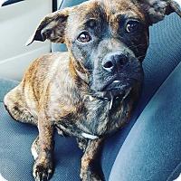 Adopt A Pet :: Brodie - Winchester, VA