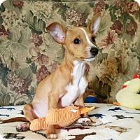 Adopt A Pet :: Georgie - New Braunfels, TX