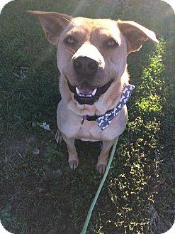 Labrador Retriever/Shepherd (Unknown Type) Mix Dog for adoption in Unionville, Pennsylvania - Aces