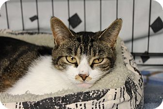 Domestic Shorthair Cat for adoption in Warwick, Rhode Island - Honey