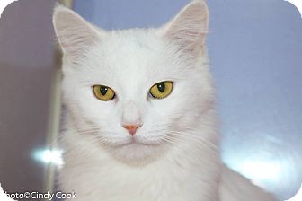 Domestic Mediumhair Cat for adoption in Ann Arbor, Michigan - Angelica