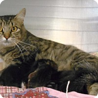 Domestic Mediumhair Cat for adoption in Redding, California - Reva