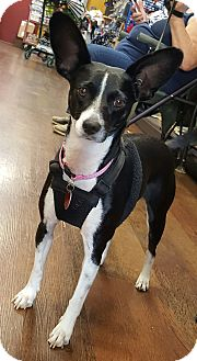 Terrier (Unknown Type, Small)/Chihuahua Mix Dog for adoption in Arlington, Tennessee - Bebe