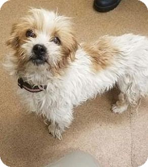 Terrier (Unknown Type, Medium)/Poodle (Standard) Mix Dog for adoption in Apple Valley, California - Gigi #162442