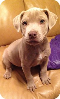 American Pit Bull Terrier Puppy for adoption in Fulton, Missouri - Quinn - Tennessee