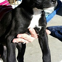 Border Collie/Labrador Retriever Mix Puppy for adoption in Pena Blanca, New Mexico - SOCKS