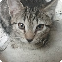Adopt A Pet :: Kringle - wyoming valley, PA