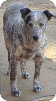Cattle Dog/Australian Shepherd Mix Dog for adoption in Fowler, California - Cattle Dog