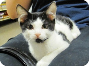 Domestic Shorthair Kitten for adoption in Diamond Bar, California - EVE