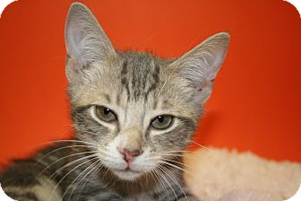 Domestic Shorthair Kitten for adoption in SILVER SPRING, Maryland - JULIAN