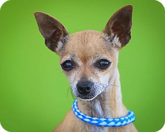 Chihuahua Dog for adoption in Studio City, California - Socks