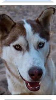 Siberian Husky Dog for adoption in Apple valley, California - Arthur