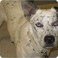 Adopt A Pet :: Sparrow - ADOPTION PENDING - Phoenix, AZ