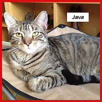 Domestic Shorthair Cat for adoption in Miami, Florida - Java