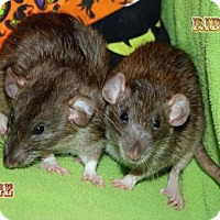 Rat for adoption in Walker, Louisiana - Midge