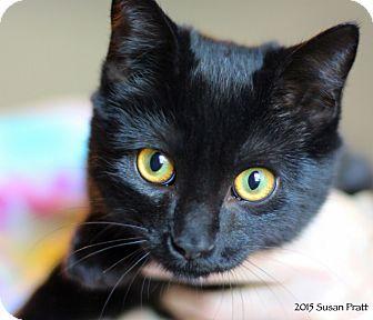 Domestic Shorthair Kitten for adoption in Bedford, Virginia - Dakota