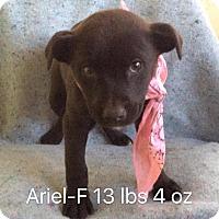 Adopt A Pet :: Ariel - Albany, NY
