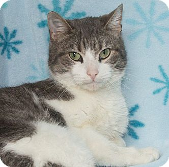 Domestic Shorthair Cat for adoption in Elmwood Park, New Jersey - Precious