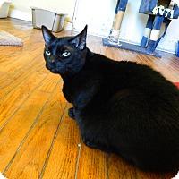 Domestic Shorthair Cat for adoption in Jupiter, Florida - Monkee