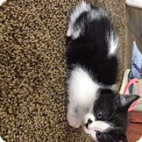 Adopt A Pet :: Blk/white dot - Troy, OH