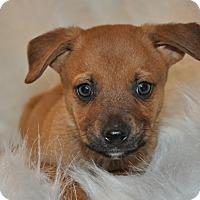 Adopt A Pet :: Ralphie (puppy) - Crocker, MO