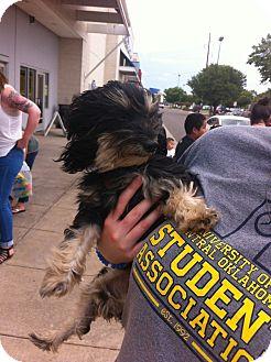 Dachshund/Havanese Mix Dog for adoption in Blanchard, Oklahoma - Patrick