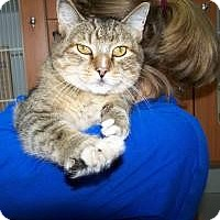 Domestic Shorthair Cat for adoption in Manchester, New Hampshire - Cheerio